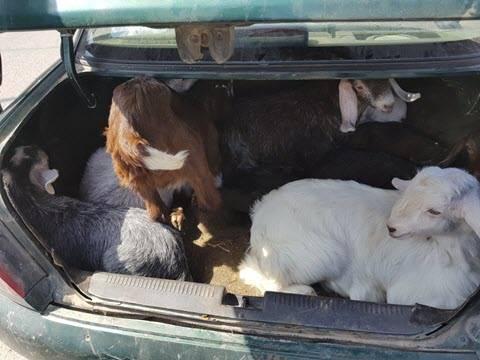 شاهد:  8 عنزات داخل صندوق سيارة في طمرة