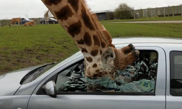 زجاج نافذة سيارة يتحطم في وجه زرافة