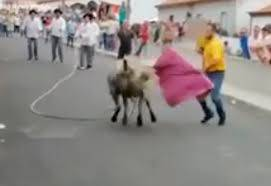 يصارع ثور وابنه على كتفه .. فيديو