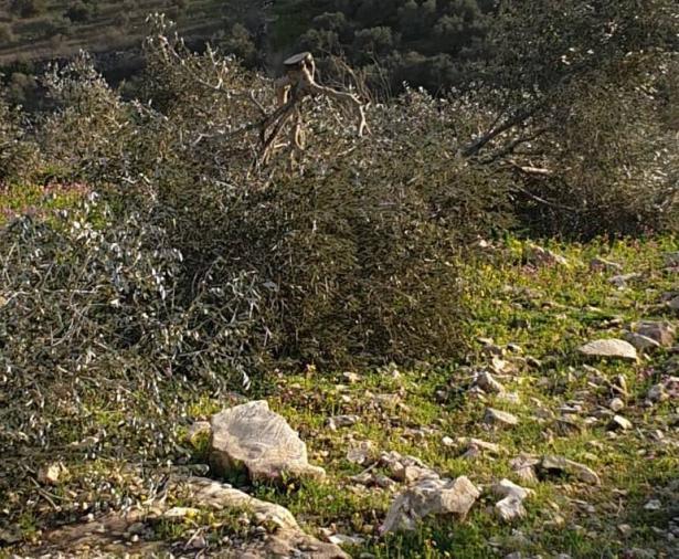 دائرة الأراضي تقطع مئات أشجار الزيتون في الروحة تعود ملكيتها لمواطنين من أم الفحم