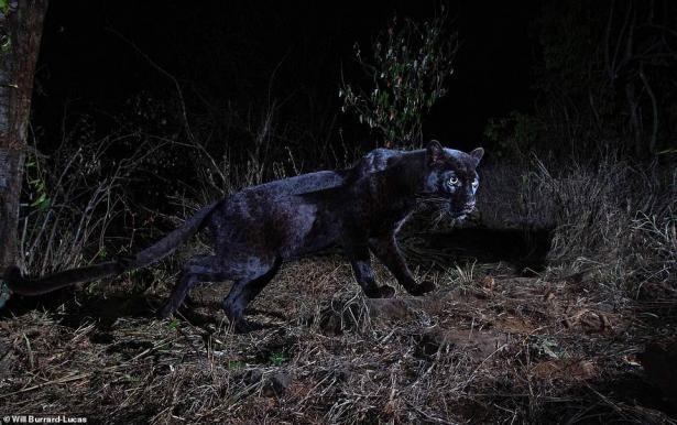 لأول مرة منذ 100 عام.. التقاط صور''النمر الأسود'' نادر الوجود