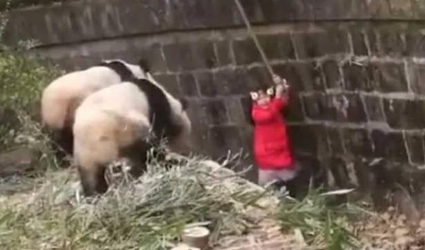 فيديو يحبس الأنفاس لإنقاذ طفلة وقعت داخل بيت لدببة الباندا