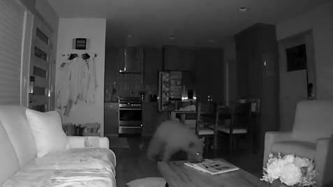 بالفيديو... دببة تتسلل إلى منزل وتسرق طعاما