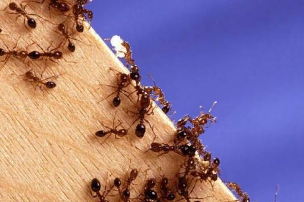 وزارة البيئة تُحذر من انتشار 'نمل النار' في منطقة القدس