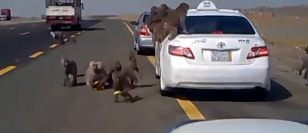 شاهد.. قرود تهاجم الناس في السعودية!