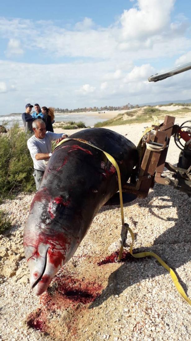 كيف وصل حوت ضخم الى شاطئ الطنطورة؟ حامد للشمس: