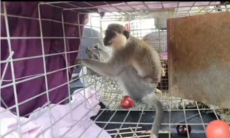نورا تافور تتحدث للشمس عن اجراءات اعادة القرد الهارب الى جنوب لبنان