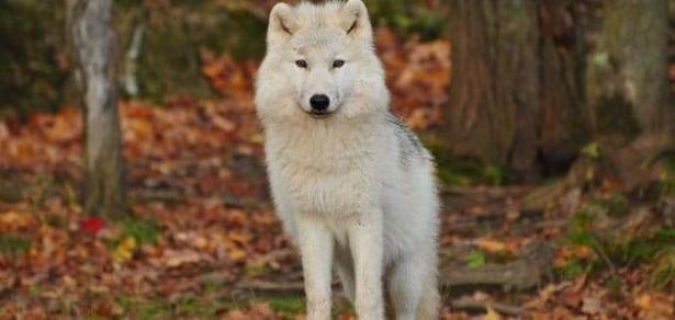 رؤية الذئب في المنام