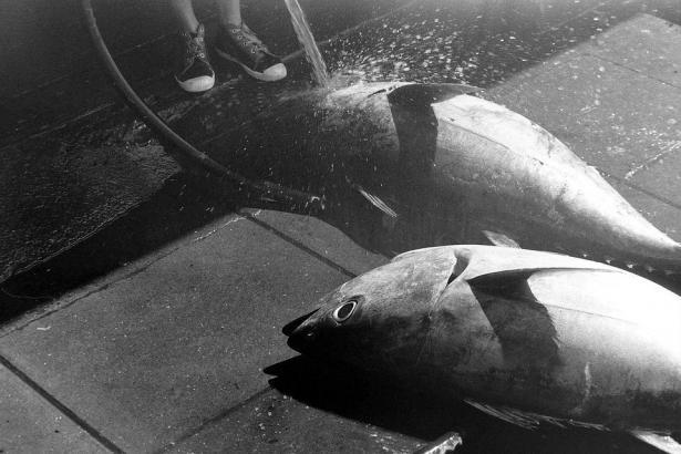 صياد من غزة يصطاد سمكة تزن 160 كيلو