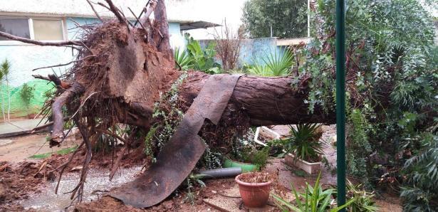 انهيار شجرة كبيرة على مركبة في اشدود خلال سيرها