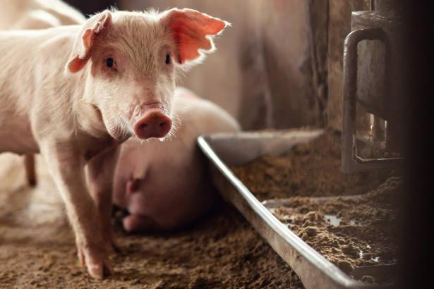 علماء في الصين يحذرون من وجود وباء جديد ظهر لدى الخنازير وبإمكانه الانتقال إلى البشر