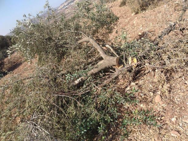 قطع اكثر من 100 شجرة زيتون في قرية المغير