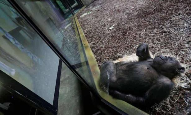 تعويضًا عن غياب الجمهور: حديقة تعقد لقاءات فيديو بين القرود من خلال شاشات عملاقة!